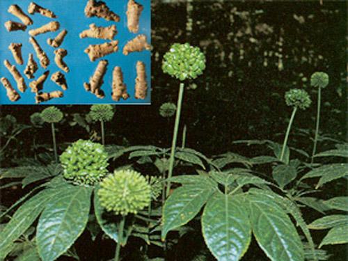 Tìm hiểu về Hoa Tam Thất